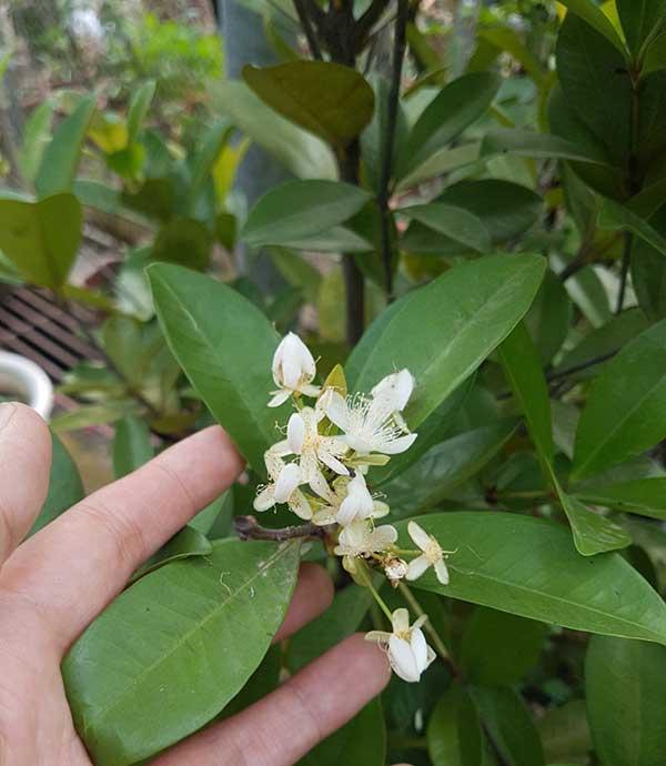 Hoa Cherry Brazil